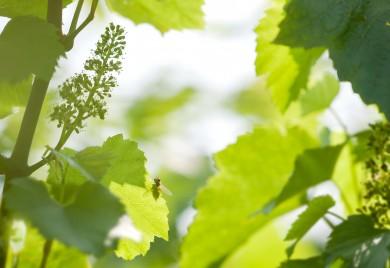 fertilisation vigne