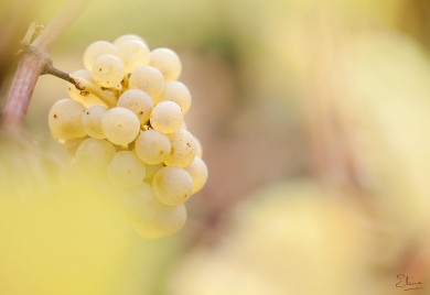chardonnay fertilisation jlc