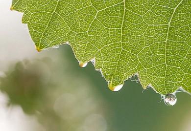 foliaire feuille vigne